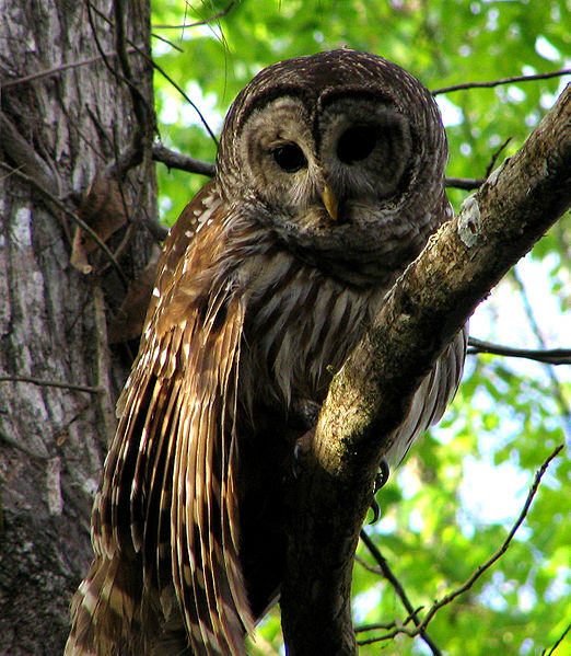 522px-Hontoon_Dead_-_Barred_Owl