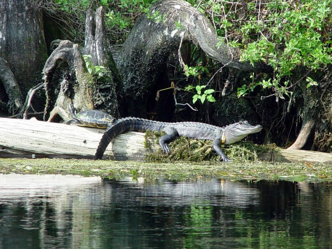 American Alligator and Turtle on Log in Apalachicola River-L