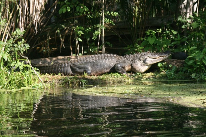 Large Gator on Silver River