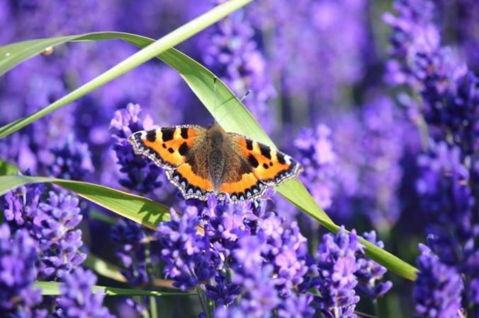 37993d1373900559-lavender-fields-image