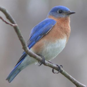 This is an Eastern Bluebird, but close enough. Image from WikiMedia by Ken Thomas.