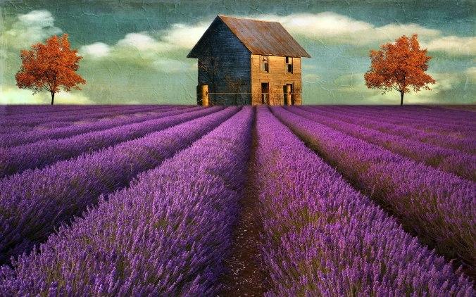 lavender-field-hd-wallpaper1