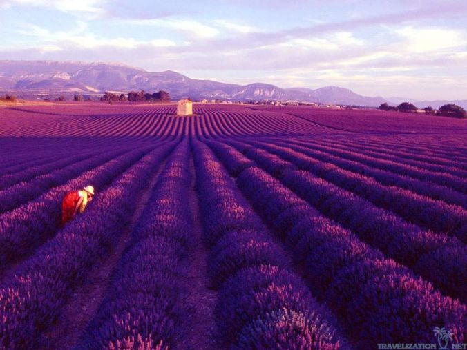 Lavender-fields-Provence-France_