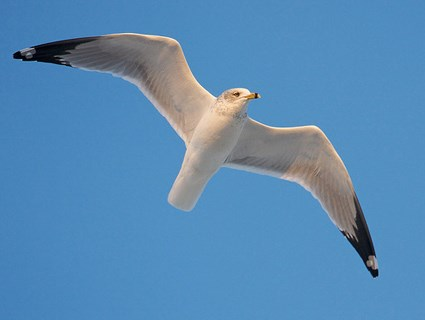 ring_billed_gull_adult_nonbreeding3