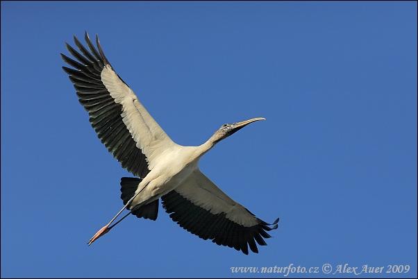wood-stork-xxximg_0222mw