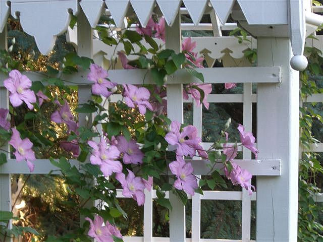 An Honest House Pink Clematis on Side of Arbour