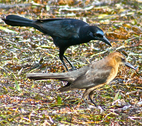 boat-tailedgrackles463quiscalusmajorb