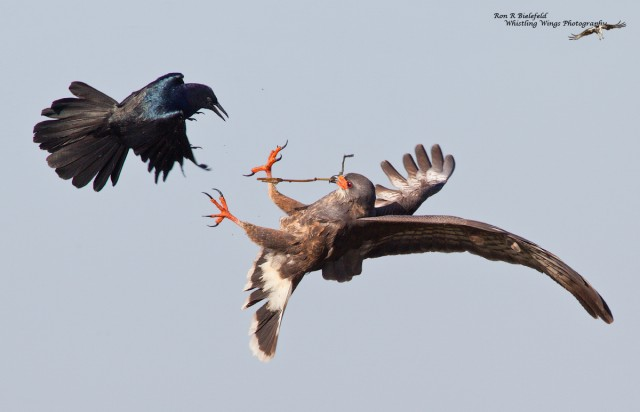 snki%20flight%20male%20talons%20up%20to%20grackle%20fight%201200_preview