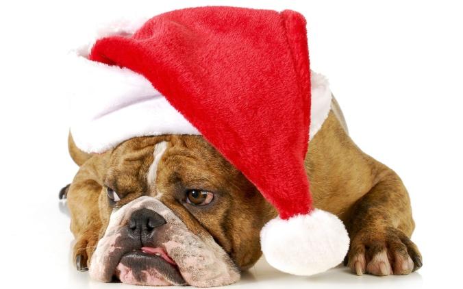 english-bulldog-with-a-santa-hat-animal-hd-wallpaper-2560x1600-6343