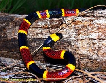 coral_snake_by_manaconda_chris